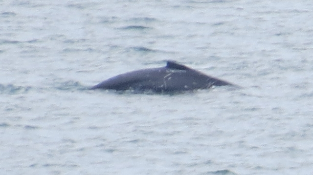 Humpback 19th Oct 2014 16:27 - could be good enough to indentify the individual from the marks near the fin.