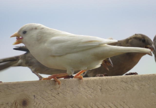 A white sparrow - probably a leucistic morph, that has been feeding on wheat we put out each day